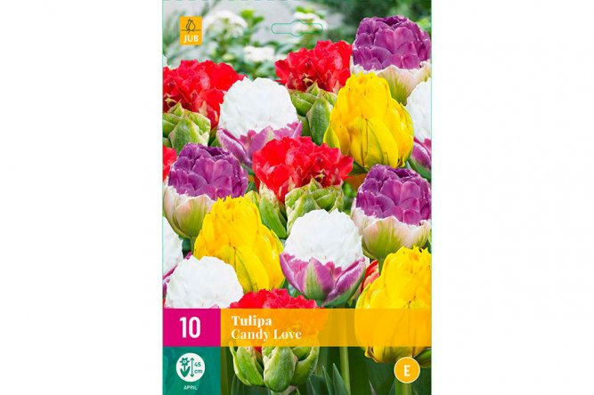 Tulipes Candy Love