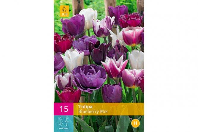 Tulipes Blueberry Variées