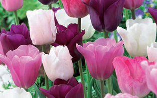 tulipes-pastel-mix